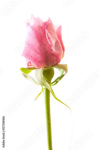 Rosa Centifolia vor weißem Hintergrund
