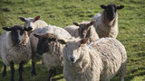 Flock of sheep in Spring sunshine in English farm countryside landscape - 157312416