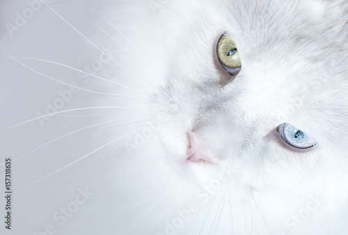 Close up from white odd eyed Maine Coon cat looking up - 157318635