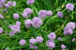 Purple chive blossoms in the spring garden