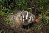 North American Badger (Taxidea taxus) Steps Up Out of Den