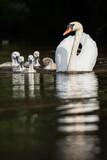 Mute Swan, Swans - nestling, nestlings