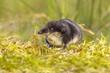 Eurasian Water shrew in natural environment