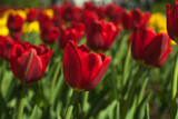 Blooming red and yellow tulips, spring background, concept of spring, renewal, heyday, horizontal