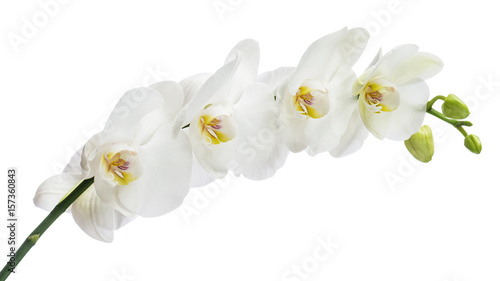 Fototapeta Delicate orchid branch blossoming with large white flowers isolated on white background. Blooming twig of Phalaenopsis orchid flower.