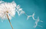 Abflug / Flugschirme der Pustblume beim Start: Wir fliegen davon, um Wünsche zu erfüllen :)