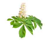 Branch of the blooming horse-chestnuts on a light background - 157363498