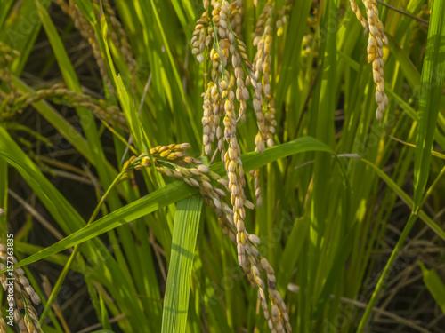 稲の実り Plakát