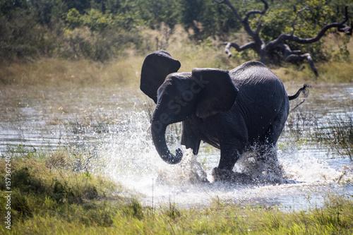 Elephant running in water Okavango delta Botswana Poster