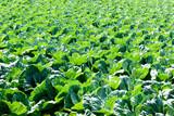 キャベツ畑, 高原野菜