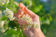 Woman's hand gentle touch to flowers of bird cherry tree in spring sunlight in the evening.