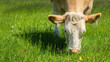 Cow feeding on a green summer pasture