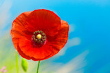 red poppy flower over blue sky