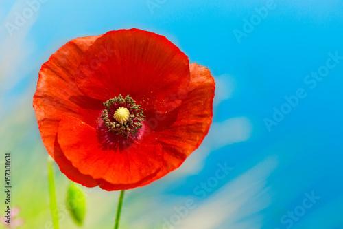 red poppy flower over blue sky