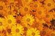 background of orange flowers closeup