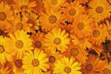 background of orange flowers closeup - 157405279