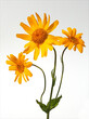 Leinwanddruck Bild - Arnika; Arnica, montana, Heilpflanze