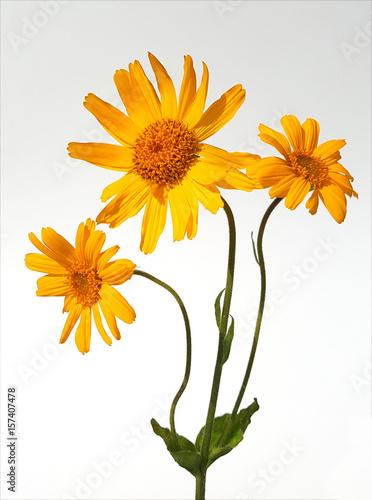 Leinwanddruck Bild Arnika; Arnica, montana, Heilpflanze