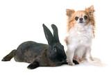 rabbit and chihuahua