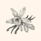 Vanilla. Vintage style. Vector illustration