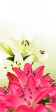 Floral card or background with white and pink lilies, illustration.