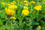 Fresh yellow dandelion flowers