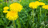 Fresh bright yellow dandelion flowers