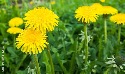 Fresh bright yellow dandelion flowers