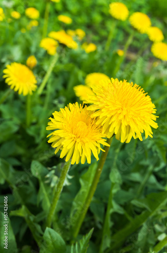 Fresh bright yellow dandelion flowers in spring