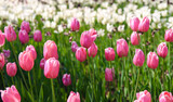 Fresh pink and white tulips in spring