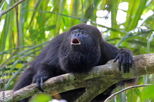 Fotobehang Aap Black howler monkey, aluatta pigra, sitting on a tree in Belize jungle and howling like crazy. They are also found in Mexico and Guatemala. They are eating mostly leaves and occasional fruits.