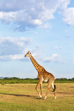 Giraffe walking in the savannah