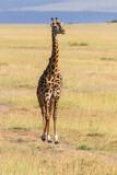 Giraffe walking on savannah in Africa