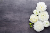 Beautiful colored ranunculus flowers on a gray background.