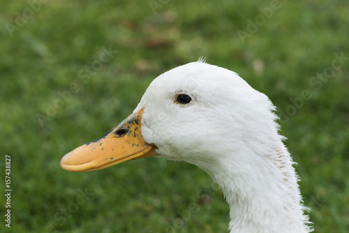 Closeup of a white duck Poster