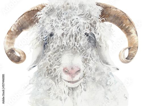 Goat angora breed farm animal wool animal portrait watercolor painting illustration isolated on white background - 157446088