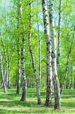 Birch Grove, early summer morning - 157447609