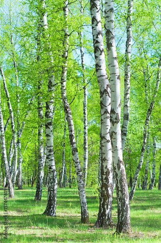 Birch Grove, early summer morning - 157447609