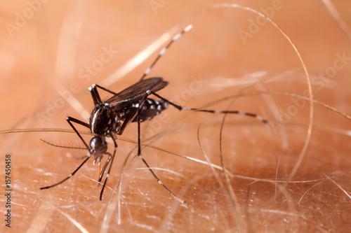 Dengue, zika and chikungunya fever mosquito (aedes aegypti) on human skin - 157450458