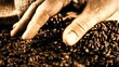 Barista selecting roasted coffee beans, 4k