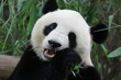 A cute female panda in Guangzhou