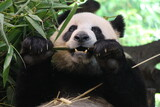 A young panda is eating bamboo stick