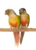 cockatiel and Green-cheeked parakeet