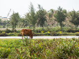 Cow, Water buffalo and a farmer at a rice field in Vietnam