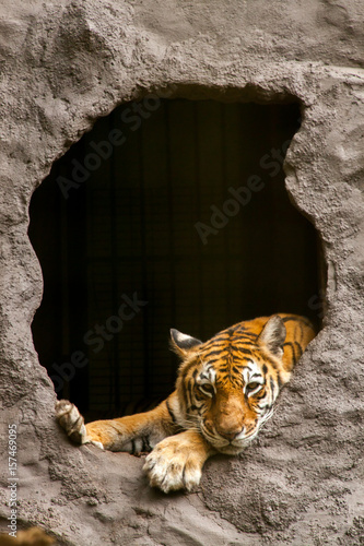 Plakat Royal Bengal tiger - Panthera tigris tigris