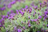 Blooming lavender plants at the Alii Kula Lavender Farm on Maui