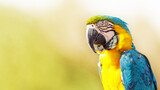 Blue and Yellow Macaw With Copy Space