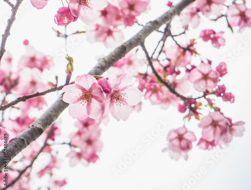 Foto op Plexiglas Magnolia Beautiful soft light pink sakura or cherry blossom and white background