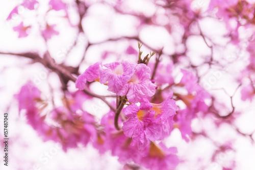 Fotobehang Purper Tabebuia rosea pink flowers in Thailand