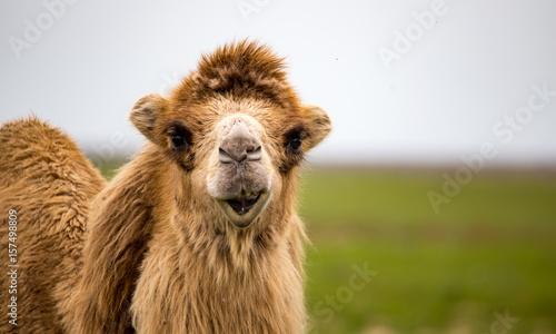 Fotobehang Kameel Portrait of camel on nature in spring